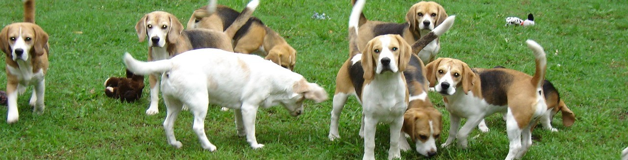 Culorgair Beagles